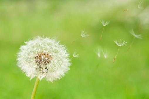 たんぽぽ「Dandelion Seeds」:スマホ壁紙(5)