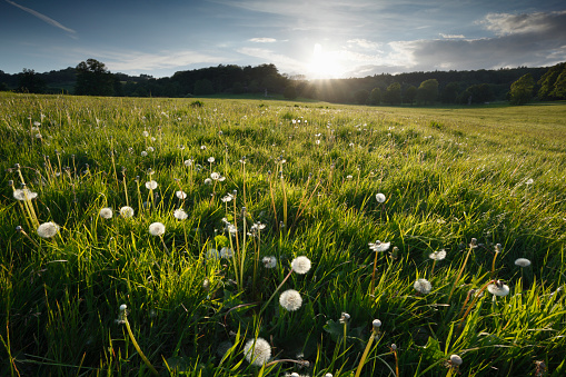 Uncultivated「Dandelion seed heads in a meadow at sunset.」:スマホ壁紙(1)