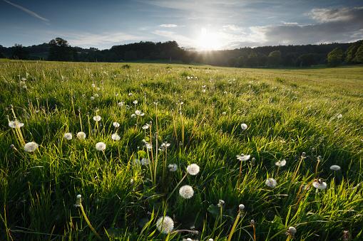 タンポポ「Dandelion seed heads in a meadow at sunset.」:スマホ壁紙(6)