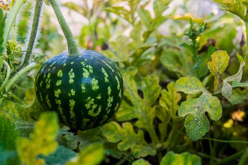 スイカ「Watermelon growing on vine」:スマホ壁紙(10)