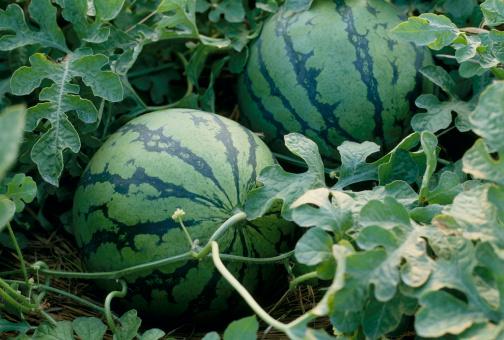 メロン「Watermelon field」:スマホ壁紙(11)
