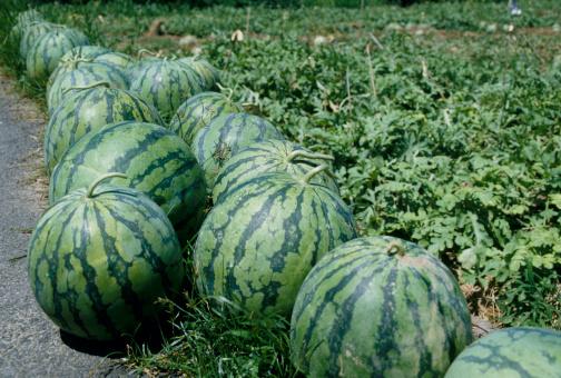 スイカ「Watermelon field」:スマホ壁紙(3)