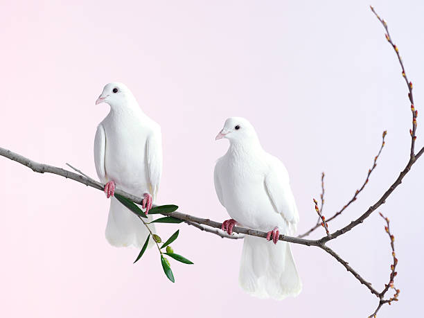 Two white doves with olive branch:スマホ壁紙(壁紙.com)
