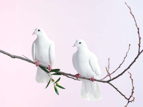Symbols Of Peace「Two white doves with olive branch」:スマホ壁紙(4)