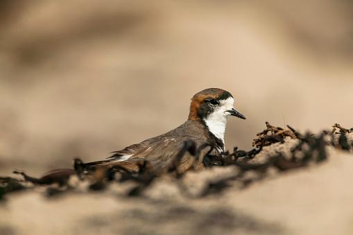 Falkland Islands「two-banded plover (Charadrius falklandicus)」:スマホ壁紙(4)