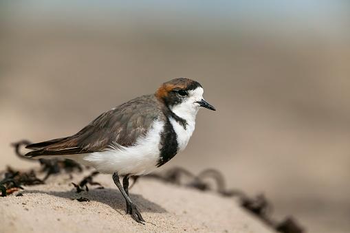 Falkland Islands「two-banded plover (Charadrius falklandicus)」:スマホ壁紙(6)