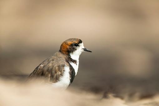 Falkland Islands「two-banded plover (Charadrius falklandicus)」:スマホ壁紙(5)
