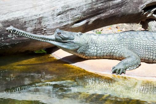 Animals Hunting「Gharial crocodile」:スマホ壁紙(4)