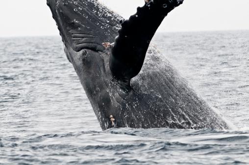 クジラ「Humpback Whale」:スマホ壁紙(19)
