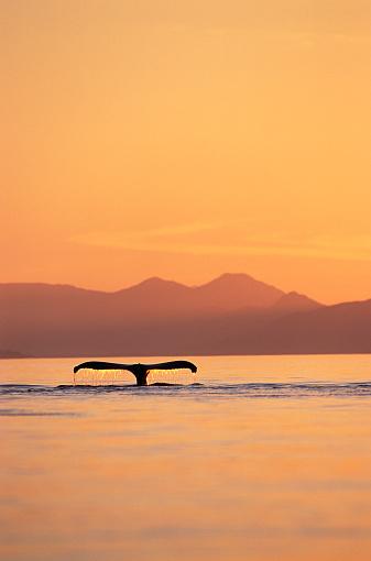 Humpback Whale「Humpback Whale Surfacing at Sunset」:スマホ壁紙(19)