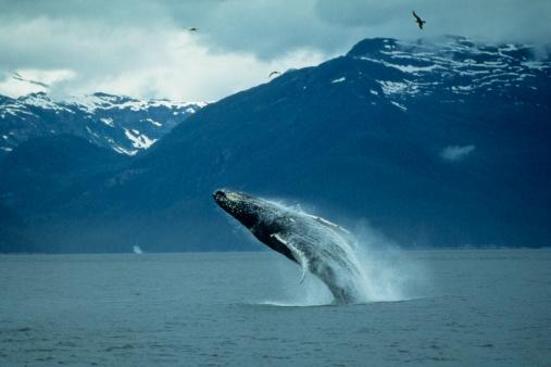クジラ「Humpback whale (Megaptera novaeangliae) breaching」:スマホ壁紙(9)