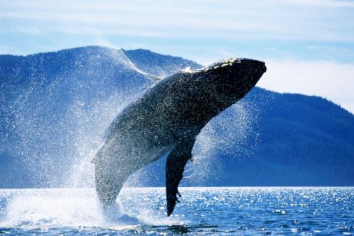 Whale「Humpback whale (Megaptera novaeangliae)  breaching, Alaska, USA」:スマホ壁紙(5)