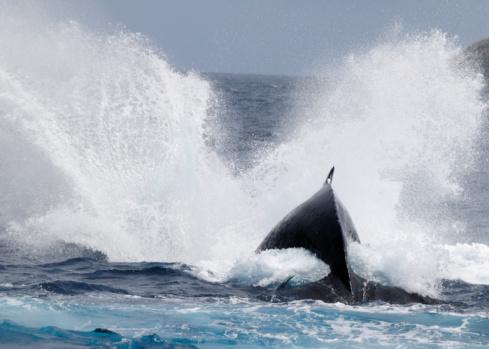 クジラ「Humpback whale」:スマホ壁紙(16)