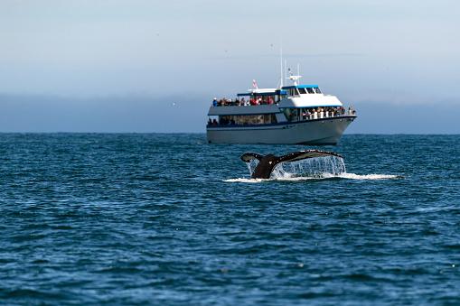 Whale Watching「Humpback Whale Tail」:スマホ壁紙(17)
