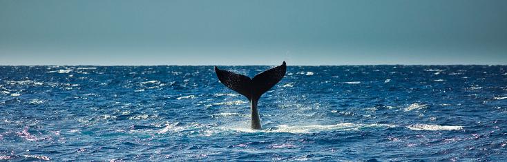 クジラ「カウアイ島、ハワイからザトウクジラ尻尾ビンタ」:スマホ壁紙(15)