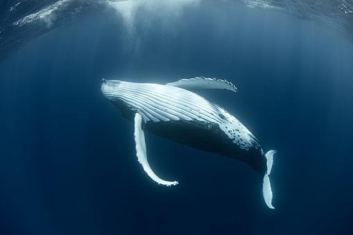 クジラ「ザトウクジラ リラックス」:スマホ壁紙(17)