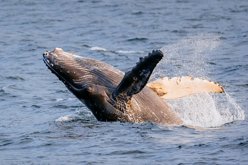 Aquatic Mammal「Humpback whale calf breaching」:スマホ壁紙(19)