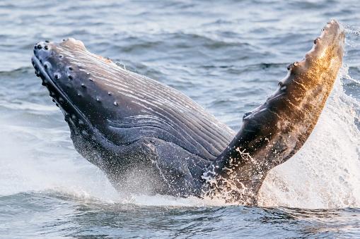 Ecosystem「Humpback whale calf breaching」:スマホ壁紙(18)