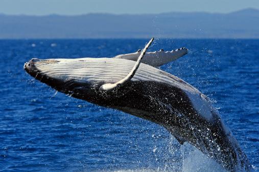 クジラ「Humpback whale breaching - close-up」:スマホ壁紙(11)