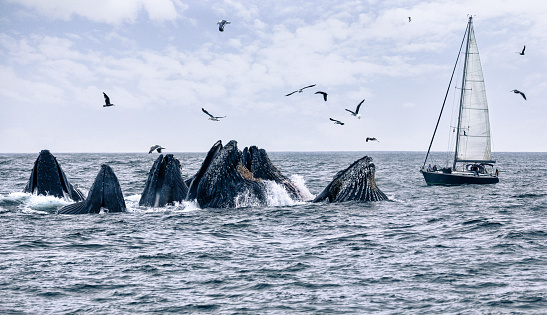 Monterey Peninsula「Humpback whales feeding in front of a sailboat Monterey Bay CA」:スマホ壁紙(17)