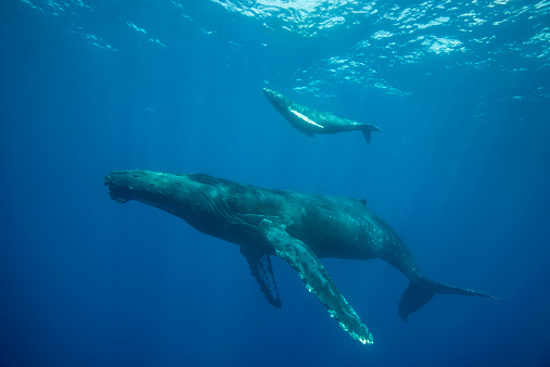 クジラ「Humpback whale with her newborn calf」:スマホ壁紙(6)