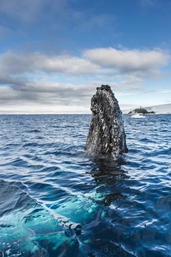 クジラ「Humpback whale spyhops in Hope Bay, Antarctica」:スマホ壁紙(10)