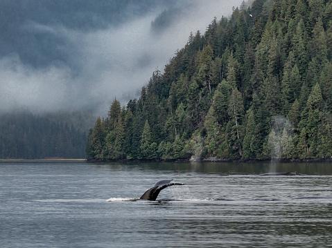 クジラ「ザトウクジラ、グレート ・ ベアの熱帯雨林」:スマホ壁紙(2)