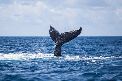 Tail Fluke「A humpback whale slaps its tail on the surface of the Atlantic Ocean.」:スマホ壁紙(11)