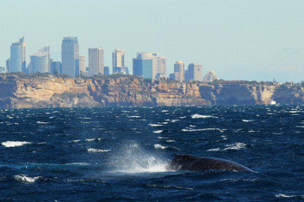 オーストラリア「Whale Watching Season Underway In Sydney」:写真・画像(15)[壁紙.com]