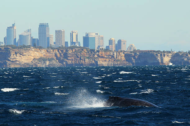 Whale Watching Season Underway In Sydney:ニュース(壁紙.com)