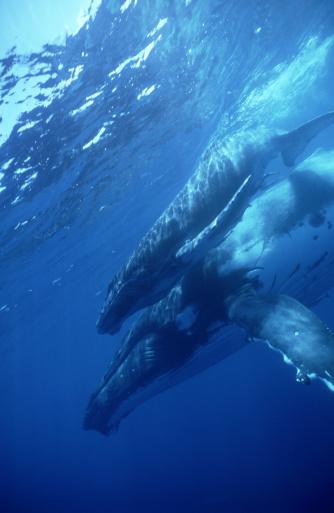 クジラ「humpback whales: megaptera novaeangliae  mother & calf  vava u, tonga」:スマホ壁紙(5)