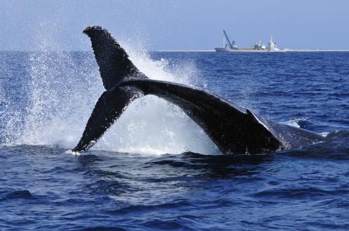 クジラ「Humpback Whale Breaching, Ship in Background」:スマホ壁紙(11)