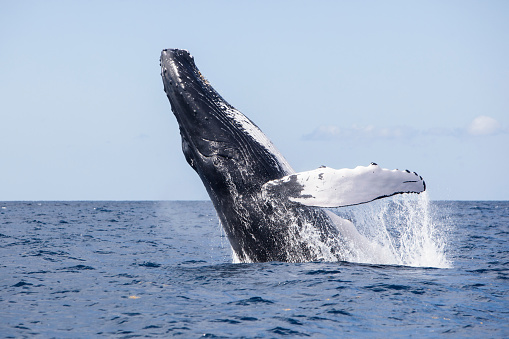 Tail Fluke「A humpback whale breaches out of the blue waters of the Caribbean Sea.」:スマホ壁紙(16)