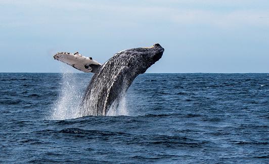 Whale「Humpback Whale breaching in Sea of Cortez, Mexico」:スマホ壁紙(0)