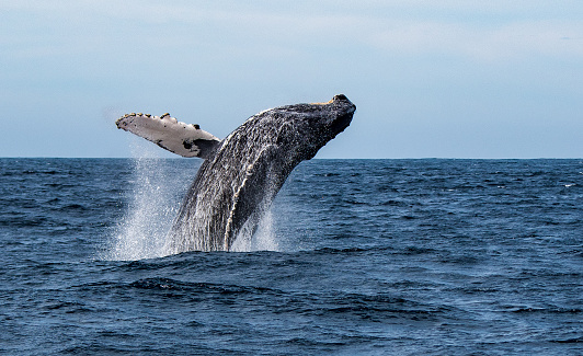Whale「Humpback Whale breaching in Sea of Cortez, Mexico」:スマホ壁紙(0)