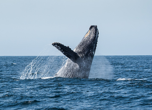 Whale Watching「Humpback Whale breaching in Sea of Cortez, Mexico」:スマホ壁紙(18)