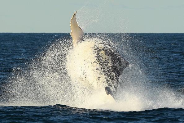 Whale「Whale Watching Season Underway In Sydney」:写真・画像(12)[壁紙.com]