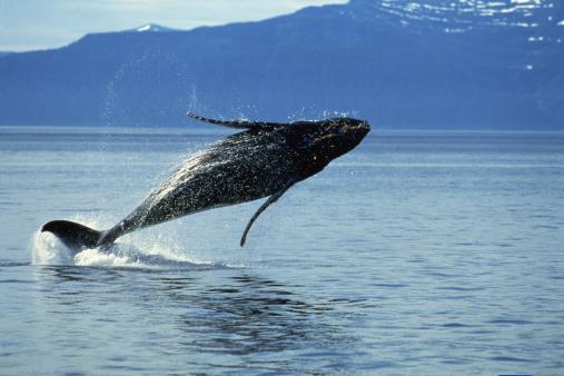 クジラ「Humpback whale jumping in water」:スマホ壁紙(7)
