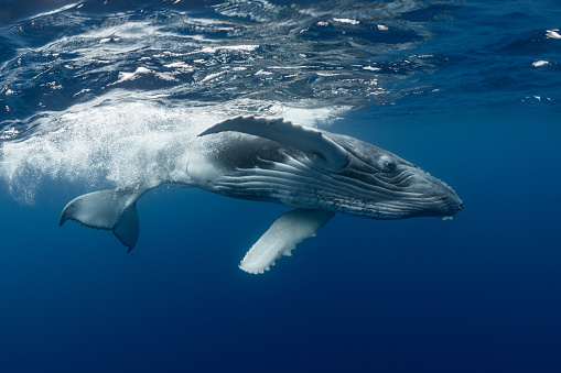 Humpback Whale「Humpback Whale Calf Swimming at the Surface」:スマホ壁紙(13)