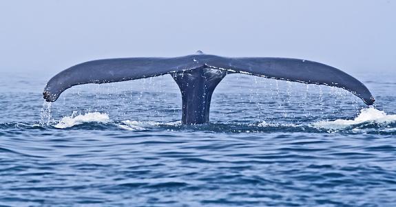 クジラ「ザトウクジラ(Megaptera フルーク novaeangliae」:スマホ壁紙(0)
