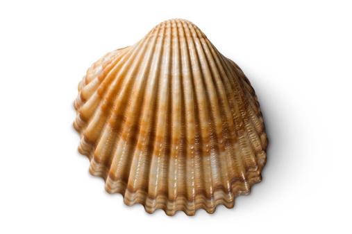 貝殻「シェル」:スマホ壁紙(5)