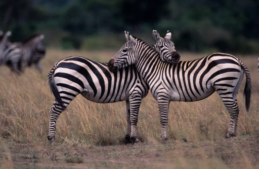 Masai Mara National Reserve「Two Burchell's zebras (Equus burchelli), face to face, Kenya」:スマホ壁紙(17)