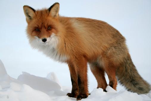 Snowdrift「Looking Fox.」:スマホ壁紙(15)