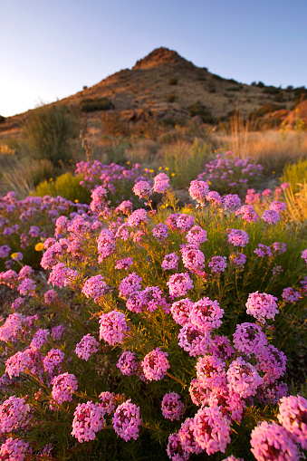 Sandia Mountains「landscape sunset wildflower mountain desert」:スマホ壁紙(12)