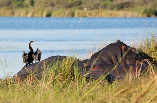 カバ「Darter on hippo back, Moremi Game Reserve, Okavango swamps, Botswana」:スマホ壁紙(2)