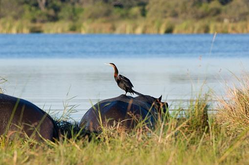 カバ「Darter on hippo back, Moremi Game Reserve, Okavango swamps, Botswana」:スマホ壁紙(1)
