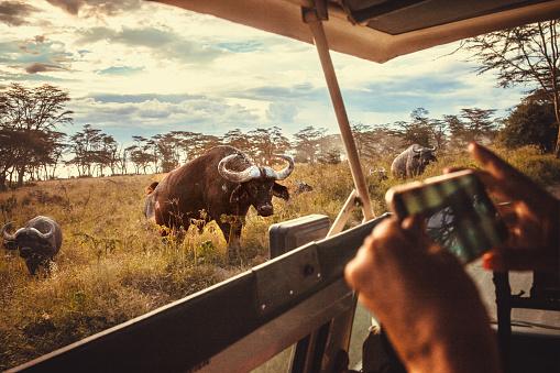 Watching「driving safari cars on the savannah in Masai mara, Africa」:スマホ壁紙(14)