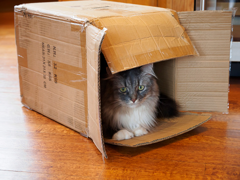 純血種のネコ「Gray and white long haired cat sitting in a cardboard box」:スマホ壁紙(13)