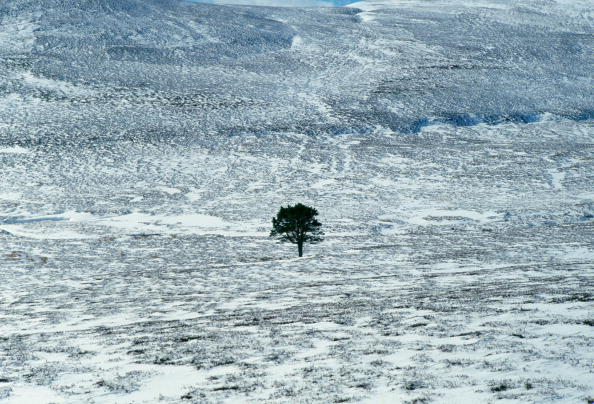 Copy Space「Pine Tree in Snowy Field, Cairngorms, Scotland」:写真・画像(4)[壁紙.com]