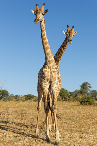 Giraffe「Giraffes Standing Side by Side, Botswana」:スマホ壁紙(6)